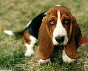 bhound
